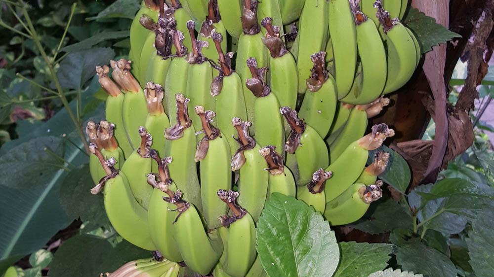 Bananen satt